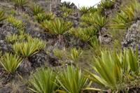 Photo d'une plante endémique du Cap Vert